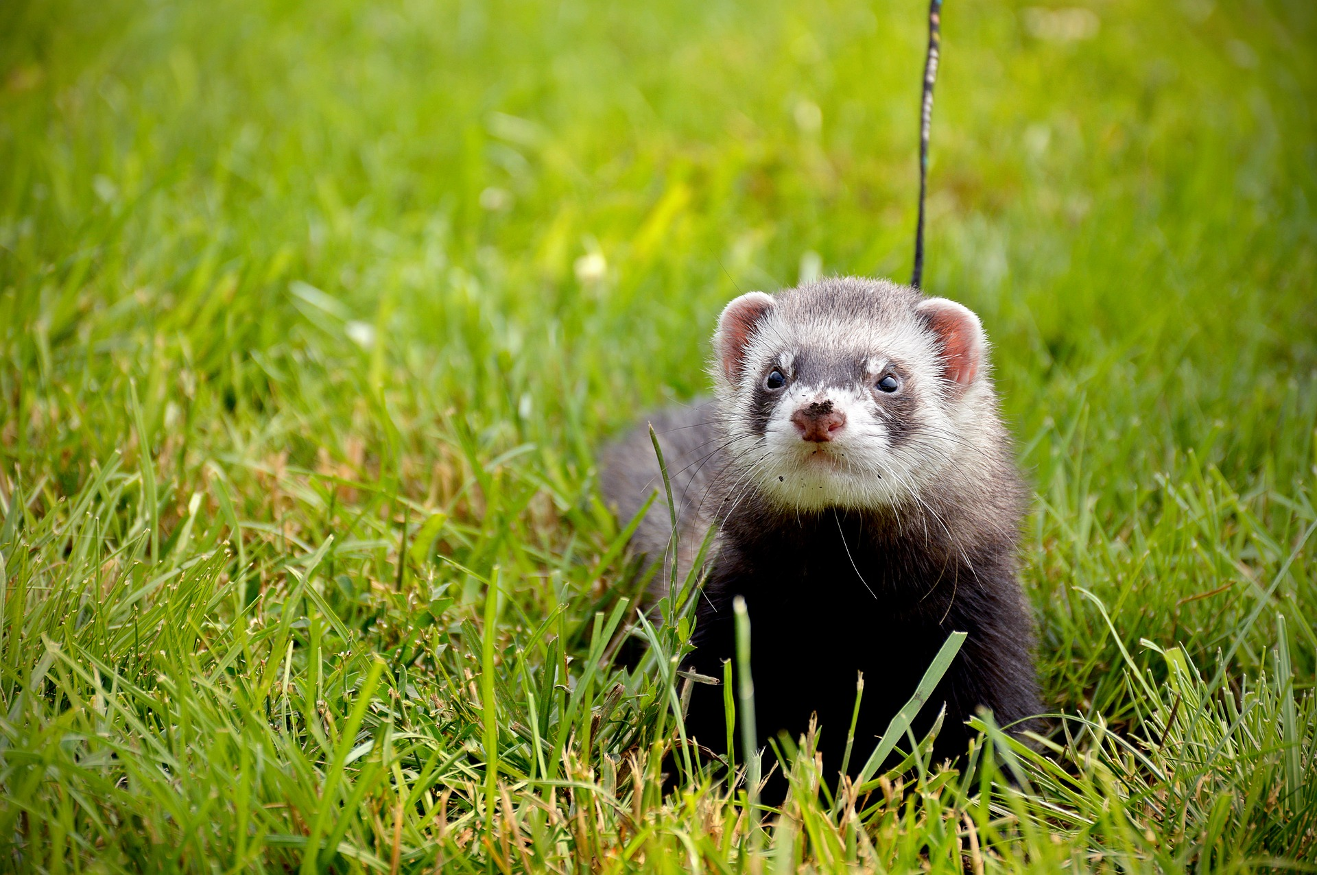 ferret on lead 3