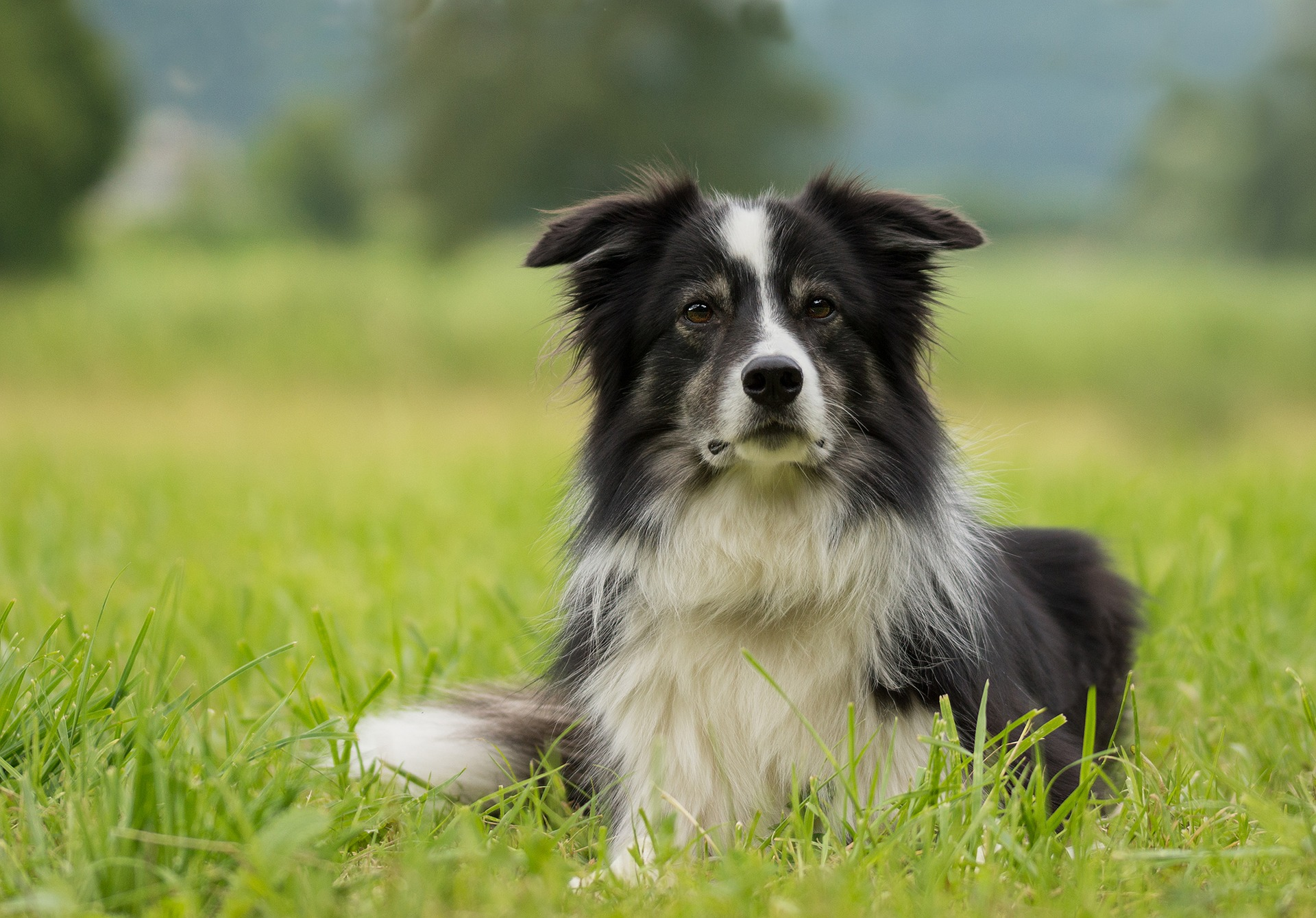 collie adult