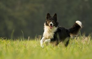 dog, border collie