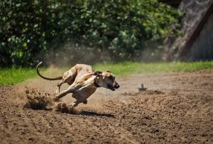 dog, greyhound, racing