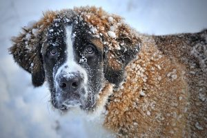 St Bernard working dog