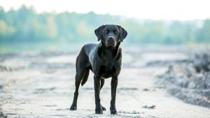 gun dog standing to attention